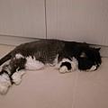 卡拉很愛躺這個位置~當毛的長的時候