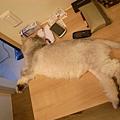這隻貓有多愛伴讀呀...超愛擠這個位置~
