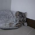 灰皮喜歡睡在桌子下面