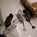 貓咪吃飯~卡拉看卡妞~灰皮看卡拉~