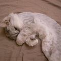 卡妞癟是條紋貓