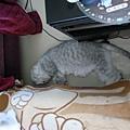 灰皮很愛睡桌子邊我都很怕踩到他