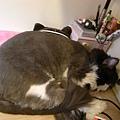 卡拉現在很愛睡書桌