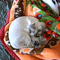 灰皮就是睡毯子晚上睡電腦椅