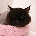 黑皮跑到粉紅墊上躺著~