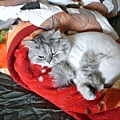 灰皮很愛睡這~