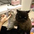 吃化毛膏的時候兩隻超貪吃的貓~