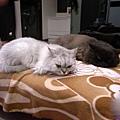 兩隻就很常這樣躺~