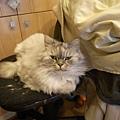 灰皮愛極這個電腦椅呀~