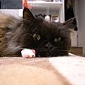 這個老鼠~黑皮跟卡妞超愛玩老鼠的~~常常我都在挖出來給他們玩~