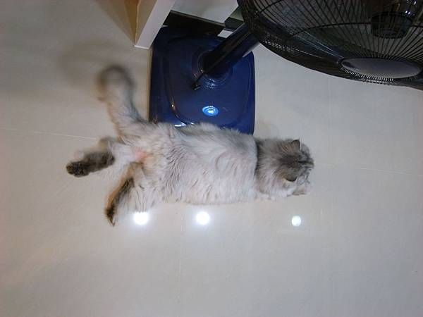 某天吃完肉~灰皮竟然去地板腳伸直躺好..又不是夏天