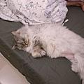 灰皮又佔據床腳了~有幾晚他害老大腳伸不直~但還是很開心~