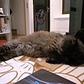 黑皮還是很常這樣側躺著睡著~