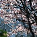 3/17 平菁路上的櫻花~