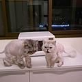 大小兩隻灰貓~