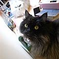 黑皮是個很貼心的伴讀貓ㄛ~