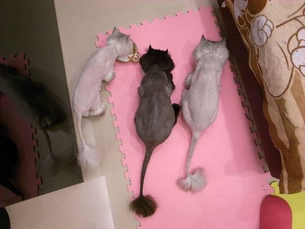三貓又放飯了~