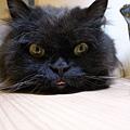 貓咪很愛忘記縮舌頭~傻呼呼呀~