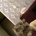 兩隻灰貓...一起睡