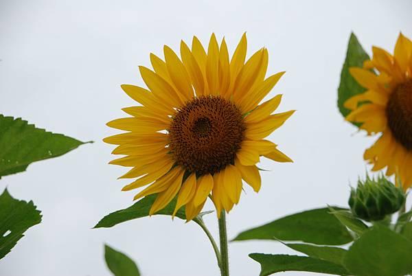 拍向日葵讓我想到去年的美瑛