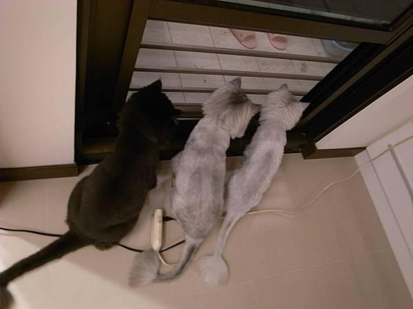 陽台有飛蟲,三隻貓超認真的~