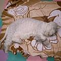 睡暈了~是說現在也是有條文貓