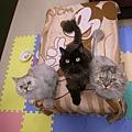 三貓被零嘴誘惑~