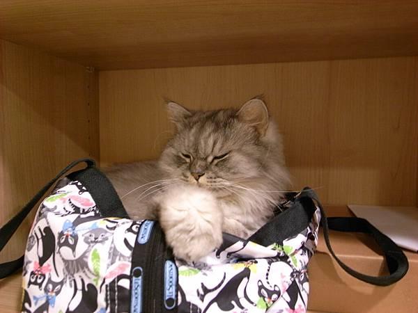 灰皮竟然搶躺我包包