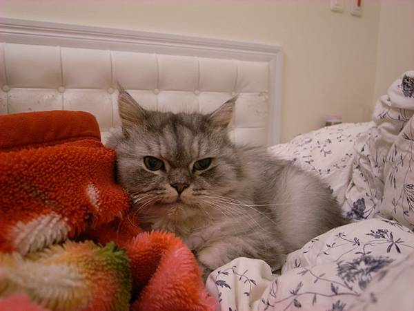 灰皮冬天反而比較不會來躺床,我只看過幾次~