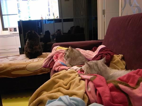 我家的貓沙發...