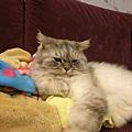 灰皮喜歡這樣趴在妹旁~