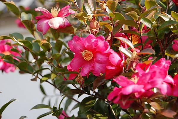 高知很多這種花