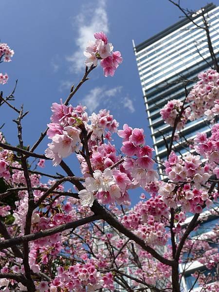 花旗前的櫻花