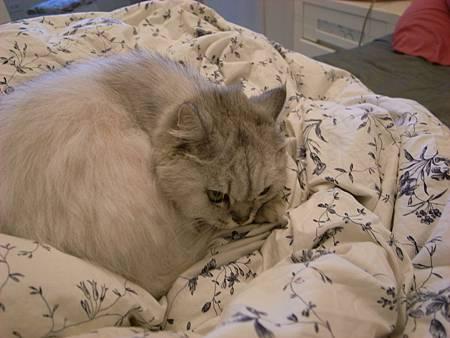 被子對貓很有吸引力~