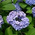 他們是因為土壤的酸鹼值改變花朵的顏色的~