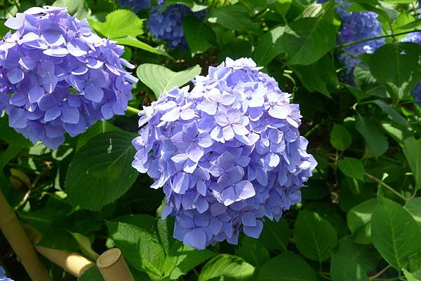 我愛紫陽花~