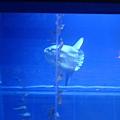 當年印象很深的曼波魚~