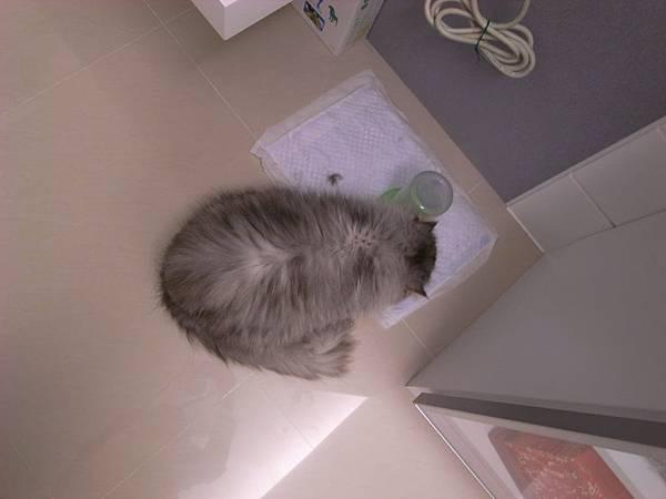 灰皮在喝水..後來發現灰皮會把水盆打翻....除非把保潔墊拿掉~~