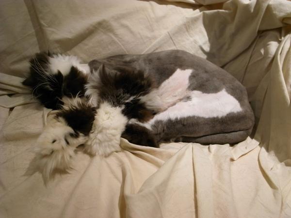 抱腿睡..這次他的腿那邊我剃的很認真~又是毛球~