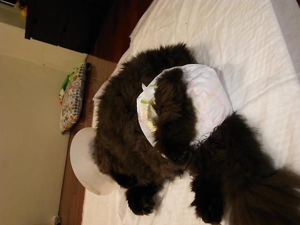 第二次裝導尿管~我們聽了醫生娘的話幫他包尿布..包不住~~