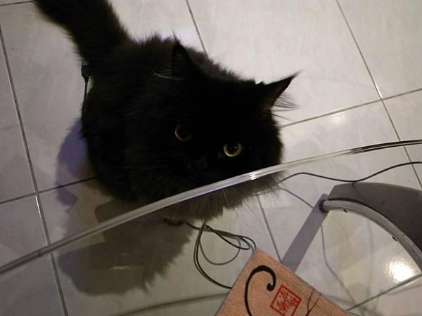 在桌下貪吃的黑皮~