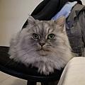 為了灰皮的最愛我們把椅子帶來新家了~~
