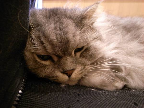 灰皮喜歡這張椅子~偶爾卡拉會來躺~~