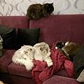四隻貓都在沙發上~