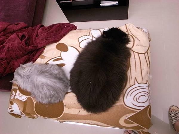這兩隻size差好多...黑皮真的是卡妞生的嘛?