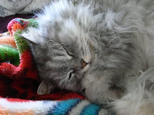 灰皮睡的很安穩好可愛~~