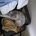 灰皮又跑來躺我包包了~