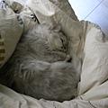 最喜歡睡在棉被窩的卡妞