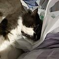 卡拉超愛趴在我們中間的塑膠袋上