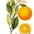 Histoire_et_culture_des_orangers_A__Risso_et_A__Poiteau__--_Paris_Henri_Plon,_Editeur,_1872